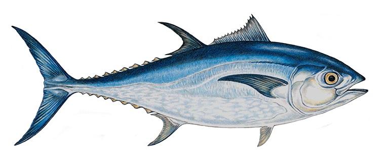 Pašticada van tonijn